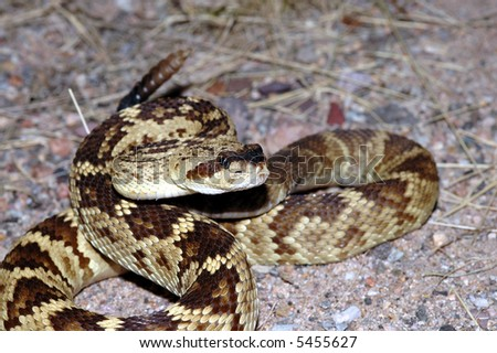 A beautiful golden colored blacktail rattlesnake is coiled in a defensive strike position. - stock photo