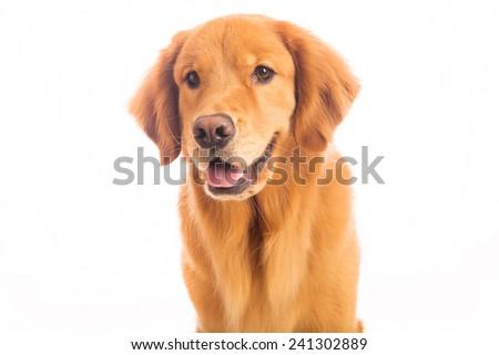 A beautiful golden retriever dog - stock photo