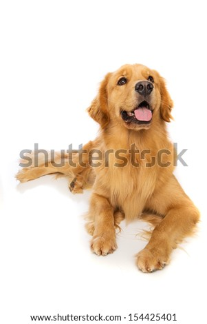 A beautiful golden retriever dog laying down. - stock photo