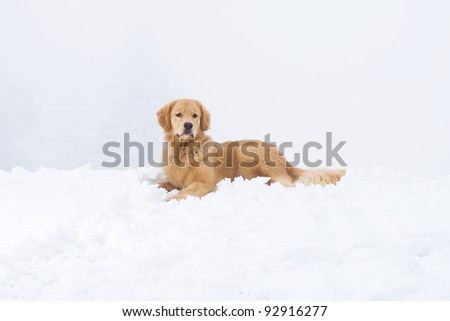 A beautiful Golden Retriever dog laying down in cold, winter snow. - stock photo