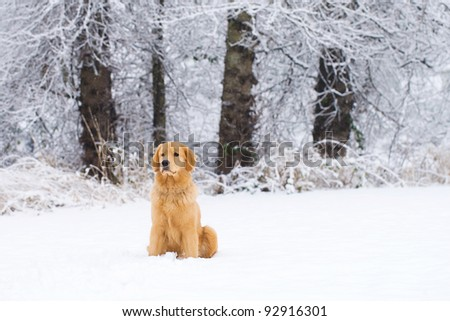 A beautiful Golden Retriever dog playing outside in white snow. - stock photo