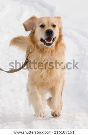 A beautiful Golden Retriever dog running, walking and playing outside in white snow - stock photo