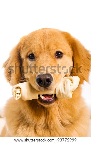 A beautiful Golden Retriever dog with a rawhide bone in his mouth. - stock photo