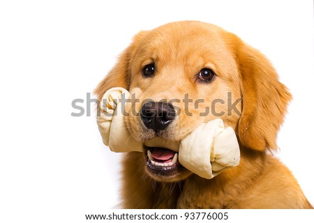 A beautiful Golden Retriever dog with a rawhide bone in his mouth.