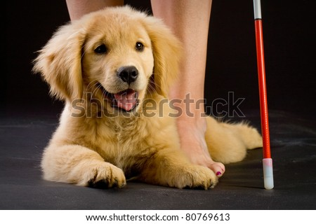 a beautiful golden retriever puppy in training to be a guide dog for the blind.  Laying in front of a woman with a cane.