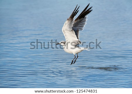A beautiful graceful Florida seagull taking flight from the ocean, horizontal with lots of copy space - stock photo