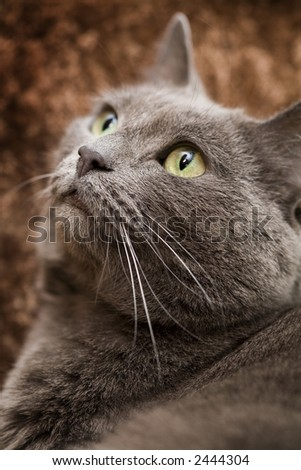 A beautiful gray domesticated tabby cat relaxing