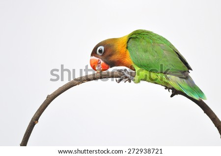 a beautiful green parrot lovebird isolated on white background  - stock photo