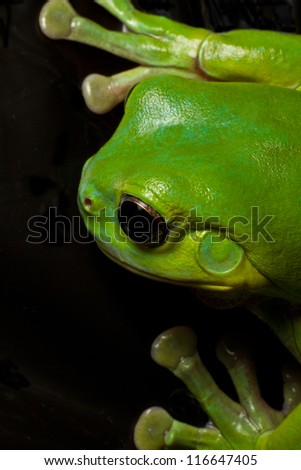 A beautiful green tree frog displays his huge green hands while climbing on black.