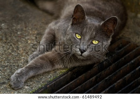 A beautiful grey cat with yellow eyes lying in the street - stock photo