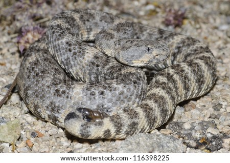 A beautiful grey form of the Southwestern Speckled Rattlesnake (Crotalus mitchellii pyrrhus) found in Joshua Tree National Park. - stock photo