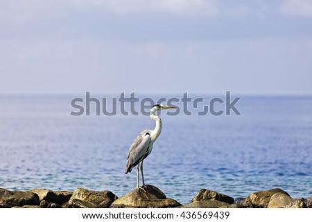 A beautiful grey heron walking at the beach in Maldives. - stock photo