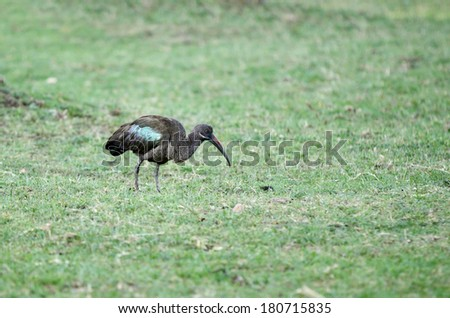 A beautiful Hadada Ibis near Lake Naivasha, Kenya - stock photo