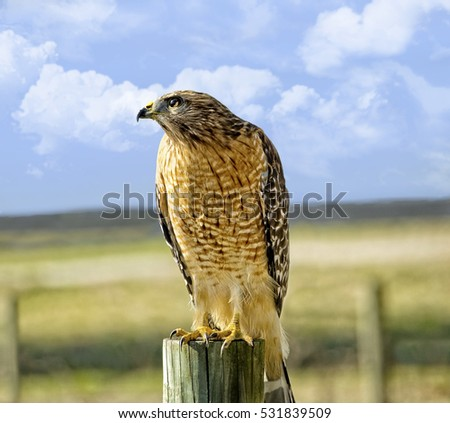 A beautiful hawk sitting on a fence post looking for prey.