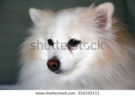 A beautiful Head Shot or Beauty Shot of a Pure Breed Pomeranian Dog. Pomeranian dogs are loved by people around the world for their Beauty and Sweet Loving Personalities. Poms are great dogs. - stock photo