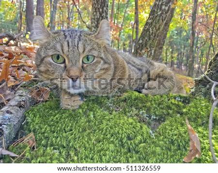 cat lynx autumn foliage - photo #17