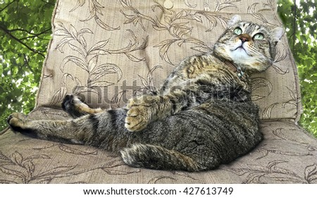 A beautiful Highland lynx cat on an an outdoor chair looking up enjoying the day.  the background can be changed.