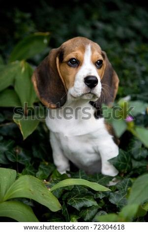 A beautiful hound dog sits on a green grass - stock photo