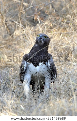 A beautiful huge Martial eagle stand on the ground after catching a monitor lizzard. - stock photo