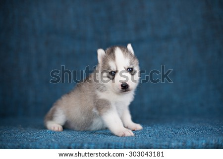 A beautiful Husky puppy with pretty blue eyes on a blue background. - stock photo