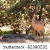 A beautiful image of a black tail buck. - stock photo