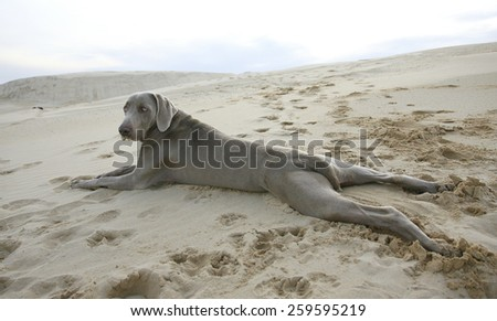 A beautiful image of a male weimaraner posing on the sand with the sun setting in the background. - stock photo