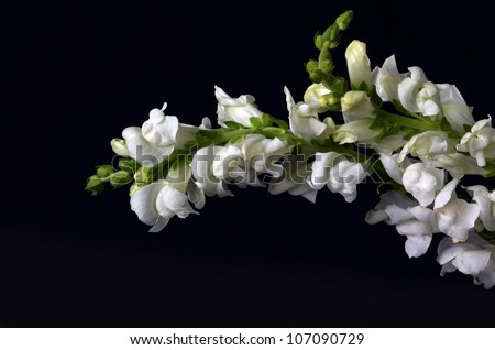 A Beautiful Isolation of a White Snap Dragon Flower Spire on a Black Background - stock photo
