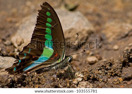 A beautiful Jay butterfly puddling