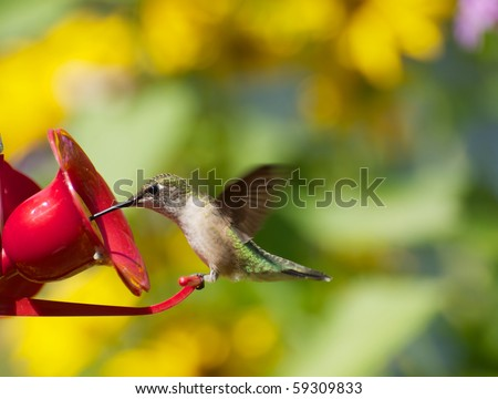 A beautiful juvenile female ruby throat hummingbird perched at a feeder surrounded by flowers. - stock photo