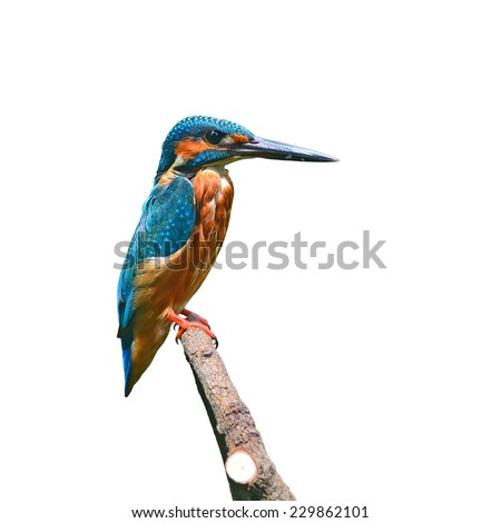 A beautiful Kingfisher bird, male of Common Kingfisher (Alcedo athis) sitting on a branch, side profile