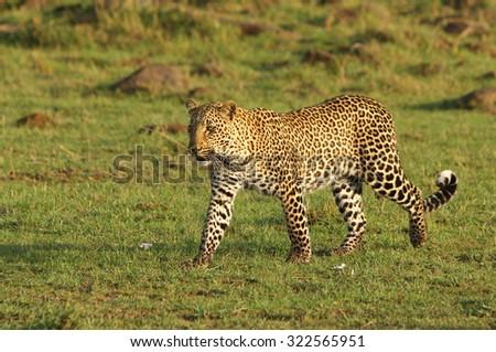 A beautiful leopard walking across the African Savannah in the Masai Mara - Kenya - stock photo
