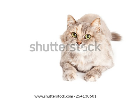 A beautiful light color domestic medium hair cat laying looking at the camera