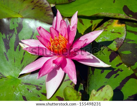 A beautiful light pink waterlily or lotus flower - stock photo