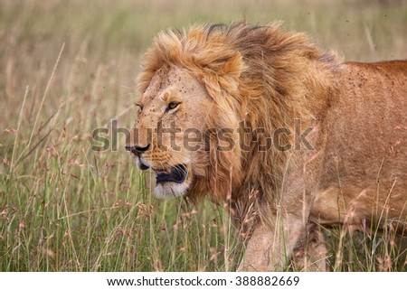 a beautiful lion at the masai mara national park