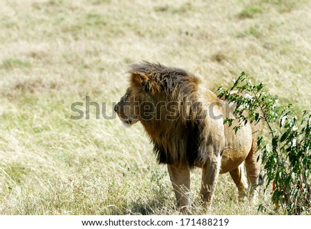 A beautiful lion near a bush - stock photo