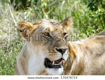 A beautiful lioness resting - stock photo