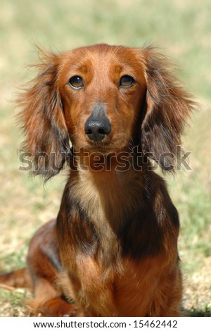 A beautiful little brown long haired miniature Dachshund dog watching other dogs in the backyard - stock photo