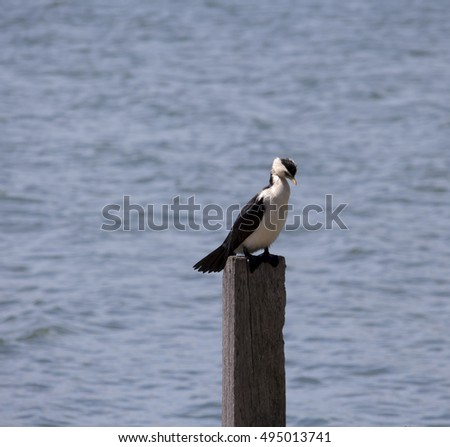 A beautiful little pied cormorant microcarbo melanoleucos   is  perched on a  wooden post in the Leschenault Estuary Bunbury Western Australia  on a cloudy  spring  afternoon.
