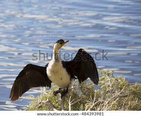 a beautiful little pied cormorant microcarbo melanoleucos is standing on the grass in the big swamp