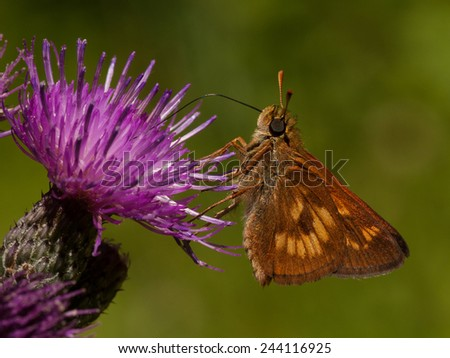 A beautiful Long Dash butterfly feeds on the nectar of a thistle flower in a northwoods Wisconsin natural area. - stock photo