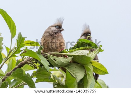 A beautiful long tailed Speckled Mousebirds sitting on a thin twig