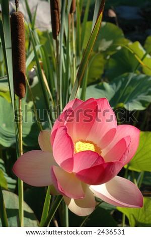 A beautiful lotus & bullrush sway in wind - stock photo