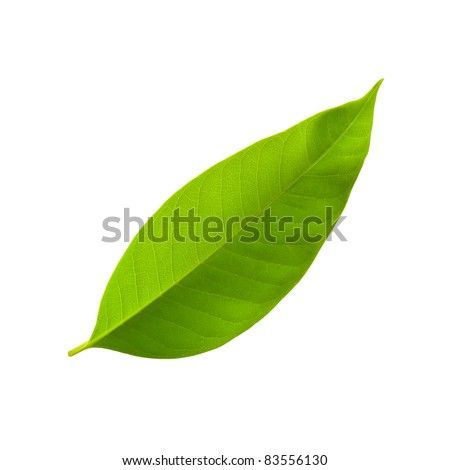 A beautiful lush green leaf. Isolated over white - stock photo