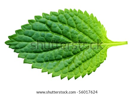 A beautiful lush green leaf. Isolated over white with clipping path. - stock photo