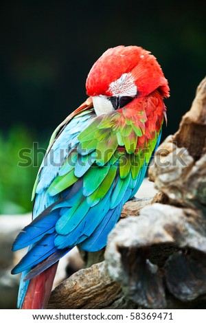 A beautiful Macaw taking a nap. - stock photo
