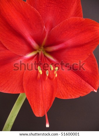 A beautiful macro from a red Amaryllis - stock photo