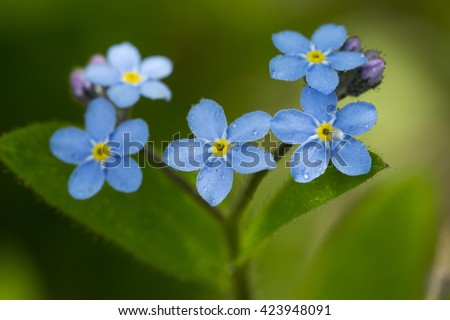 A beautiful macro of a Myosotis flower. Also known as mouse's ear. In the northern hemisphere they are commonly called forget-me-nots or scorpion grasses. A water droplet is on the flowers. - stock photo