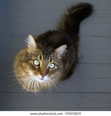 A beautiful maine coon cat on gray floorboards. - stock photo