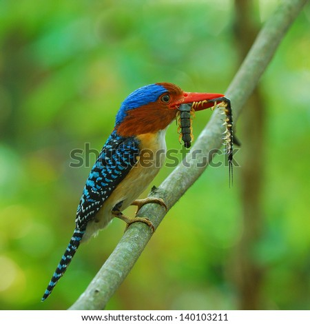 A beautiful male Banded Kingfisher.( Lacedo pulchella)