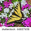 A beautiful male Eastern Tiger Swallowtail Butterfly (Papilio glaucus) on creeping phlox. - stock photo